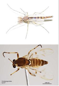Chironomidae (above), Ceratopogonidae (below)