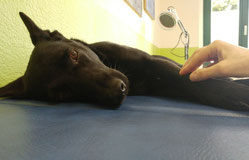 Massage Hund, Krankengymnastik Hund, Arthrose Hund, Hundephysiotherapie Heike Amthor in Leipzig Stötteritz