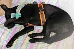 Schlafen nach der Hundephysiotherapie Heike Amthor in Leipzig Stötteritz