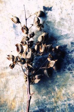 Blauglockenbaum Frucht