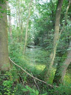Alter Flussarm der Luppe, der abgeschnitten wurde und in dem das Wasser praktisch nicht mehr fließen kann. Foto: NABU Leipzig