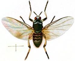 Simulium trifasciatum (Curtis, 1838)
