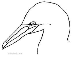 Kopf eines Baßtölpels