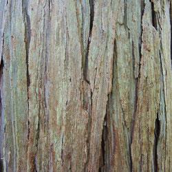 ヒノキと杉の違い