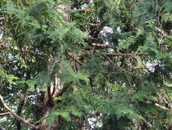ヒノキと杉の区別
