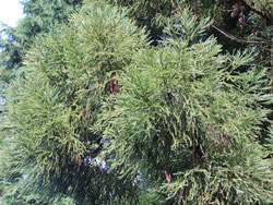 杉とヒノキの区別