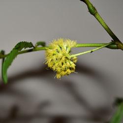 アカサヤネムノキ 開花