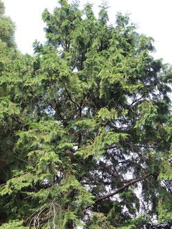檜と杉の見分け方