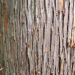 スギと檜の違い