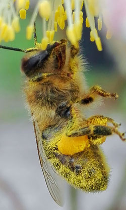 Honigbiene an Saalweide 2017 Arnsberg Hüsten