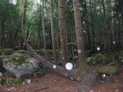 L'arbre Lyre  près de Bugarach