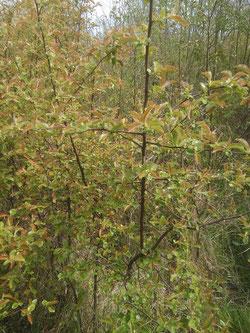 pseudo cydonia sinensis contre planté 150/200  12€