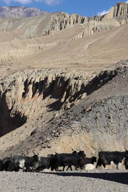 Ziegen in Upper Mustang