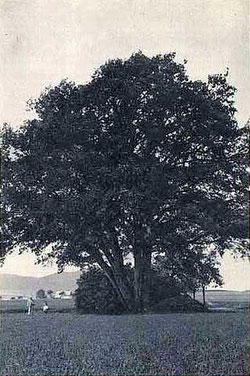 Große Eiche bei Herwigsdorf um 1930, Postkarte