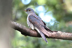 ツツドリ(幼羽から激しく換羽中)