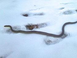 なんとシマヘビの足跡