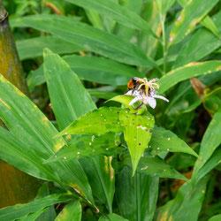 ヤマジノホトトギスの蜜を吸うクマバチ