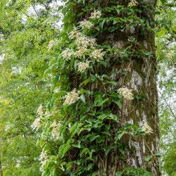 樹齢400年の杉とツルアジサイ(熊野妙法山)