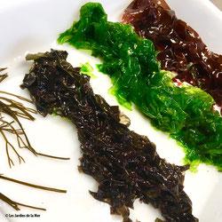 Un bel échantillon de couleurs : nori (Porphyra sp.), laitue de mer (Ulva sp.) et dulse (Palmaria palmata) de bas en haut