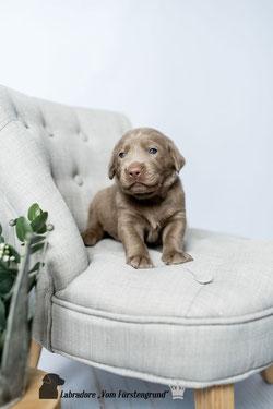 Dass Mir Der Hund Das Liebste Sei Sagst Du Mensch Sei Sunde Der Hund Ist Mir Im Sturme Treu Der Mensch Nicht Mal Im Winde Labradorwelpen Vom Furstengrund