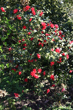 "Camellia ""Freedom Bell"