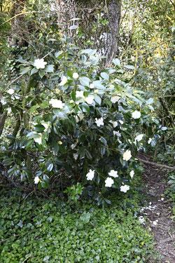 "Camellia ""Sawada"""