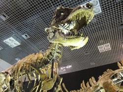 タルボサウルスの骨