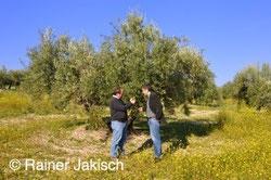 gesunde Olivenbäume