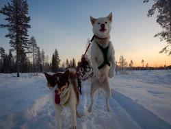 Schlittenhundetour Schweden