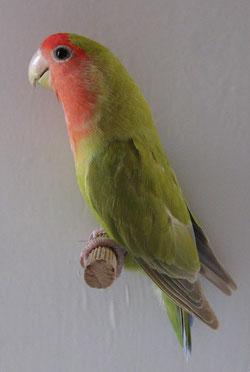 Verde Cannella