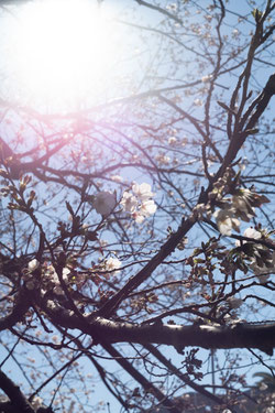 写真教室 桜の花