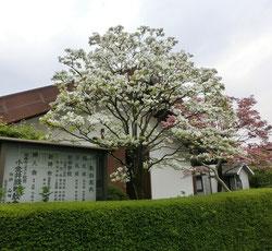 東小金井駅から小金井公園をめざし車が少ない住宅街の道を北上。約20分ほど歩くとハナミズキがきれいな教会がありました