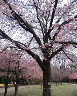 ●寒緋桜の近くには、大寒桜(オオカンザクラ)も咲いていました