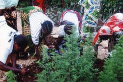 Die Frauen pflanzen und pflegen die berühmte Heilpflanze Artemisia annua anamed - sie bekämpft vorbeugend und heilend Malaria und vieles andere.