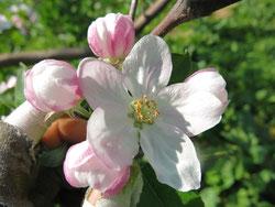 世界一というりんごの花の画像