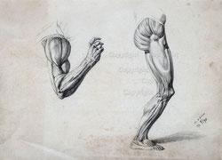 Nr. 3109 Arm- und Beinmuskulatur