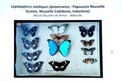 Papillons, Ancien Musée d'Abbevile et de Ponthieu / Photo Y. Fr