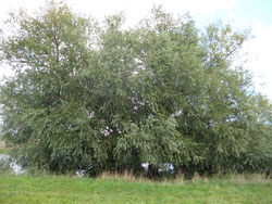 Baumgruppe aus Silber-Weiden