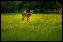 Ein Rehbock in der Feldmark (08/2014)