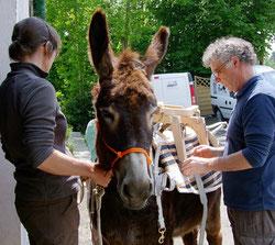 Interessenten kamen mit einem 6-jährigen Wallach aus Flandern, um den Packsattel vor dem Kauf testen zu können.