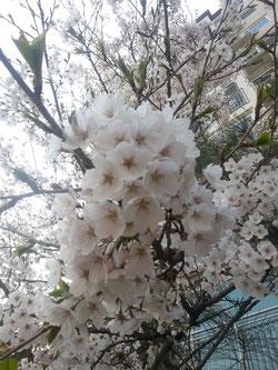 韓国でも桜が満開です♪