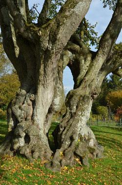 L'arbre des épousailles à Lucheux