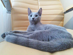 Karelia Da-Shy Trozayar, кошка-юниор