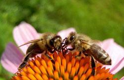Kein Leben ohne Bienen