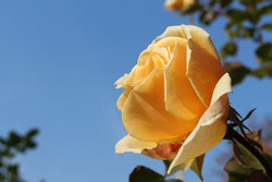 Betriebsbesichtigung Rosen Kordes