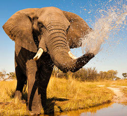 elephant facts, african elephant, the wild adventure girls