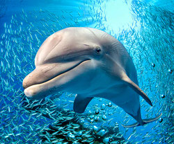 dolphin, bottlenose dolphin, dolphin facts