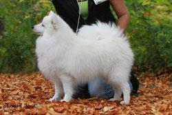 Maho Mirai Akemi puppies japanese spitz