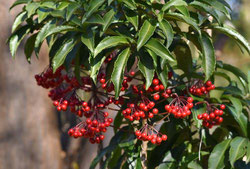name of red fruits tree