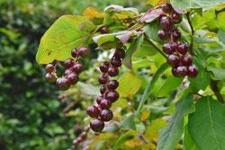 黒紫色の実 種類